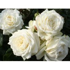 Alaska (Аляска) - плетистые розы, 2005 г (горшок 2 литра)