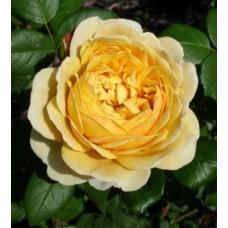 Charles Darwin (Чарльз Дарвин) - 2001 г., английские розы  (горшок 2 литра)