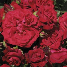 Cumberland (Камберланд) - 2007 г., плетистые розы (горшок 2 литра)