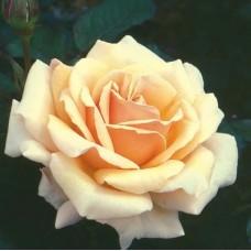 Royal Parks (Роял Паркс) - Чайно-гибридные розы (горшок 2 литра)