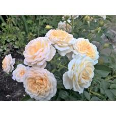 Cream Abundance (Крим Эбандэнс) - 1999 г.