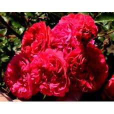 Любовь - 2018 г., почвопокровные розы (горшок 2 литра)