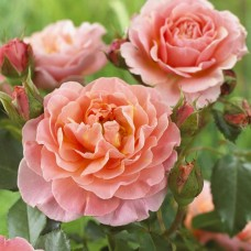 Marie Curie (Мари Кюри) - 1996 г., почвопокровные розы (горшок 2 литра)