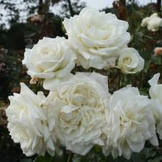 Alaska (Аляска) - 2005 г., плетистые розы, (горшок 2 литра)