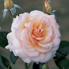 Angie/Telethon  (Энджи/Телефон) - 2003 г. , кустовые розы (горшок 2 литра)