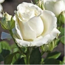 Avalanche (Аваланж ) - чайно-гибридные розы (горшок 2 литра)