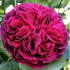 Falstaff  (Фальстафф) - 1999 г., английские розы (горшок 2 литра)