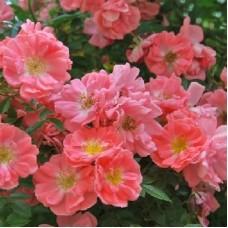 Ferdy (Ферди) - 1984 г., плетистые розы (горшок 2 литра)