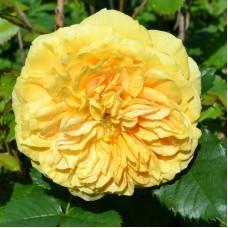 Golden Zest (Голден Зест) - 2005 г., кустовые розы  (горшок 2 литра)