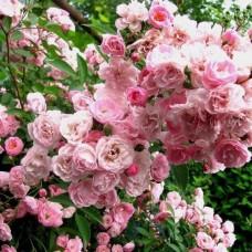 Heavenly Pink  (Хэвенли Пинк) - 1997 г., кустовые розы (горшок 2 литра)