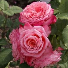 Institut Lumiere (Анститю Люмьер) - 2003 г., кустовые розы (горшок 2 литра)