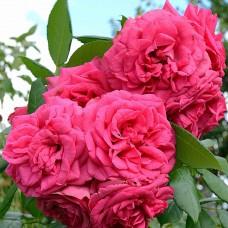 Maritim (Маритим) - 2007 г., кустовые розы (горшок 2 литра)