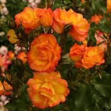 Bonanza  (Бонанза) - парковая роза, 1983 г.  (горшок 2 литра)