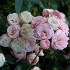 Bouquet Parfait (Буке Парфэ) - 1989 г., шраб (горшок 2 литра)