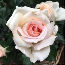 Chandos Beauty (Чендос Бьюти) - 2005 г., чайно-гибридные розы, 2005 г. (горшок 2 литра)