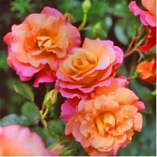 Freisinger Morgenröte  (Фрайзингер Моргенрот) - 1988 г., кустовые розы (горшок 2 литра)