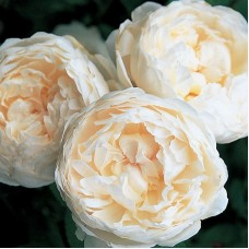 Glamis Castle (Глэмис Кэстл) - английские розы (горшок 2 л.)