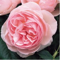 Heritage  (Херитейдж) - 1984 г., английские розы  (горшок 2 литра)