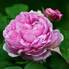 Jacques Cartier (Жак Картье) - 1868 г., кустовые (портладские) розы  (горшок 2 литра)