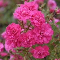 Knirps (Книрпс) - 1997 г., почвопокровные розы (горшок 2 литра)