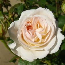 Lions Rose  (Лайонз роуз) - 2002 г., флорибунда (горшок 2 литра)