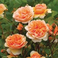 Port Sunlight (Порт Санлайт) - 2007 г., английские розы (горшок 4 литра)