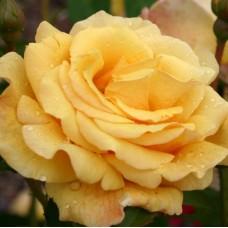 Postillion (Постильон) - 1998 г., парковые розы (горшок 2 литра)