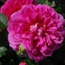 Princess Anne (Принцес Эн) - 2010 г., английские розы (горшок 2 литра)