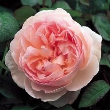 Sharifa Asma  (Шарифа Асма) - английские розы (горшок 2 литра)
