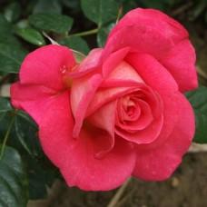 Shogun (Сегун) - 2000 г., плетистые розы (горшок 2 литра)