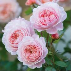 A Shropshire Lad  (Э Шропшир Лэд) -1997 г. - английские розы (горшок 2 литра)