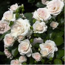 Aspirin Rose ( (Аспирин Роз) - 1997 г.