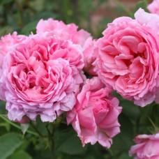 Bienvenue (Бьенвеню) - 1999 г., плетистая роза (горшок 2 литра)