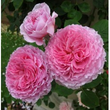 James Galway  (Джеймс Голуэй,) - 1985 г., английские розы (горшок 2 литра)
