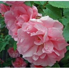 John Davis  (Джон Девис) - 1986 г., плетистые розы (горшок 2 литра)