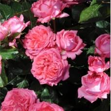 La Rose de Molinard (Ля Роз дэ Молинар) - 2007 г., кустовые розы (горшок 2 литра)
