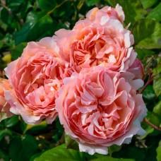 Princesse Charlene de Monaco (Принцесс Шарлен Де Монако) - 2011 г., чайно-гибридная роза (горшок 2 литра)