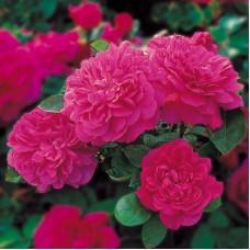 Sophy's Rose  (Софи Роз) - 1997 г., английские розы (горшок 2 литра)