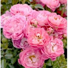 Charmant (Шарман) - 1999 г., бордюрные розы (горшок 2 литра)