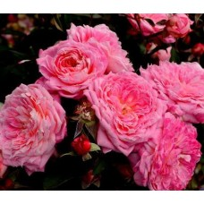 Riazanochka (Рязаночка)  - 2019 г., кустовые розы (горшок 2 литра)
