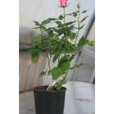 Корнесобственные розы (фотогалерея)