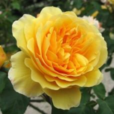 Graham Thomas  (Грэхам Томас) - 1983 г., английские розы  (горшок 2 литра)
