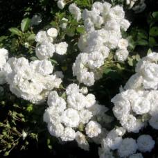 White Meillandina (Уайт Меилландина) - 1984 г.. почвопокровная роза (горшок 2 литра)