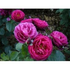 Bicentenaire de Guillot (Бисантенэр де Гийо ) - кустовые розы, 2003 г (горшок 2 литра)