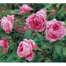 Alan Titchmarsh  (Алан Титчмарш) - 2005 г, английские розы (горшок 2 литра)