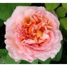 Abraham Darby  (Абрахам Дерби) - 1985 г. - английские розы (горшок 2 литра)