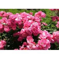 Angela  (Анжела) - 1984, кустовые розы (горшок 2 литра)