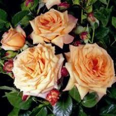 Barock  (Барок) - плетистые розы,1999 г. (горшок 2 литра)