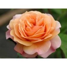 Charles Austin (Чарльз Остин) - 1973 г., английские розы (горшок 2 литра)