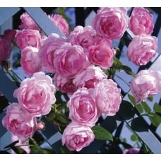 Jasmina (Жасмина) - 2005 г., плетистые розы (горшок 2 литра)